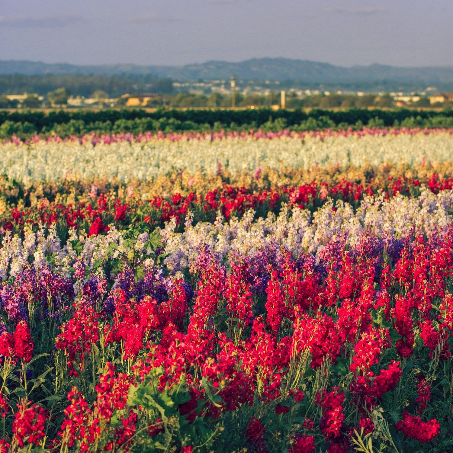 Flower Fields , Lompoc California